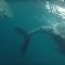 Natureza cruel: tubarões devoram baleia com mais de 8 metros