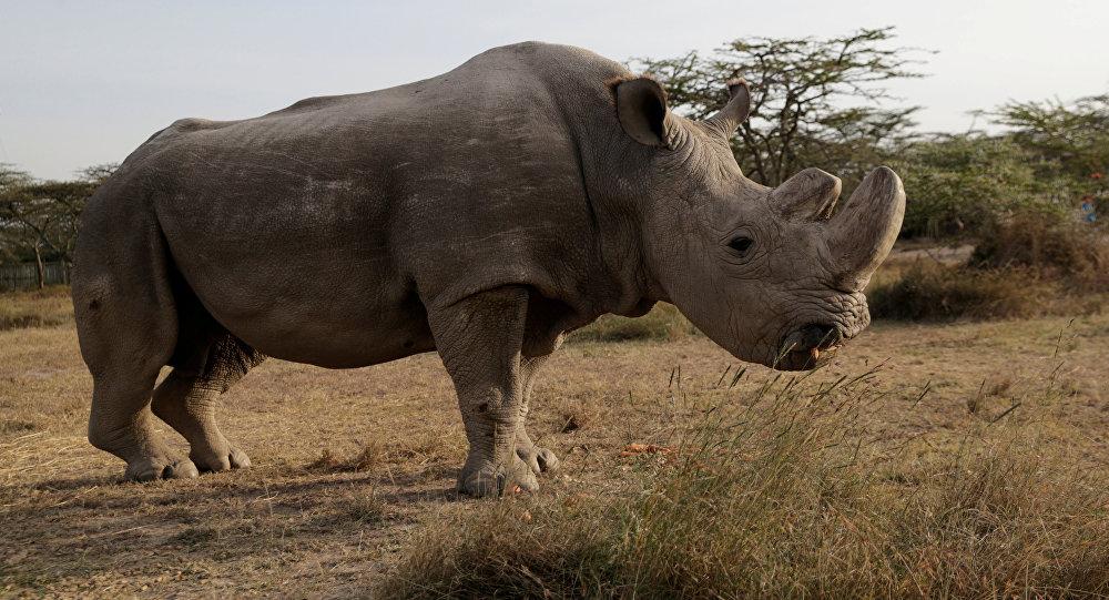Sudan, último macho de rinoceronte-branco do norte (foto de arquivo)