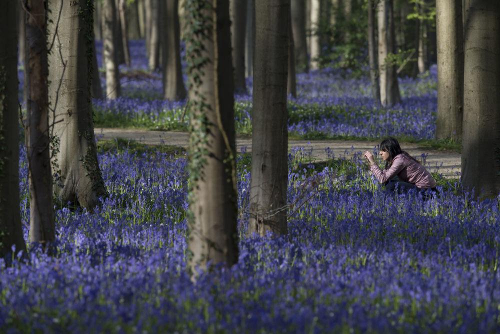 Floresta de Hallerbos, na Bélgica, também conhecida como floresta azul, parece um lugar de conto de fadas. É que toda primavera, a floresta se cobre com um tapete de jacintos selvagens azuis (Hyacinthoides non-scripta), atraindo muitos visitantes