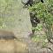 Fora! Mãe búfala expulsa 14 leões para lamentar perda do filhote