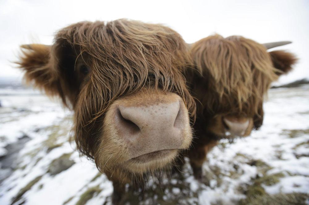 Vacas pastando perto de Glasgow, Escócia.