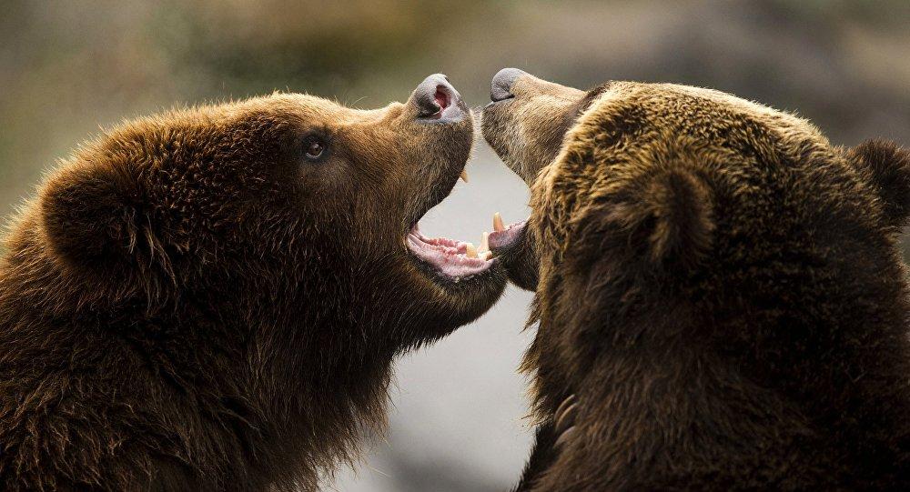 Ursos marrom