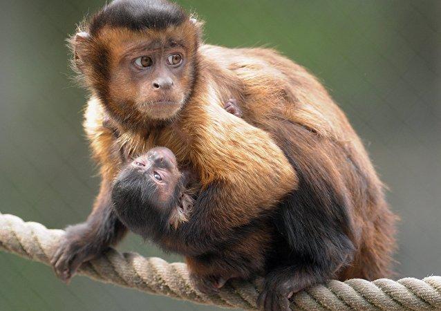 Macacos-prego (imagem referencial)