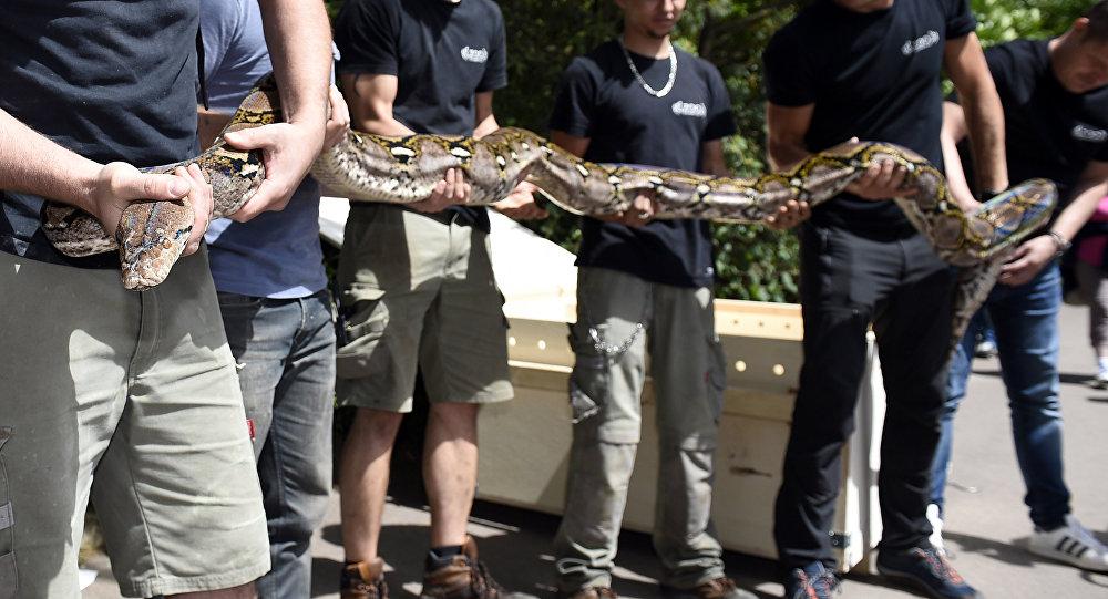 Trabalhadores do zoológico de Amnéville seguram uma cobra píton-reticulada de 7 metros de comprimento e pesando 80 kg, após sua chegada ao zoológico na França, 28 de julho de 2017