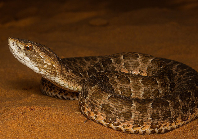 Cobra jararaca