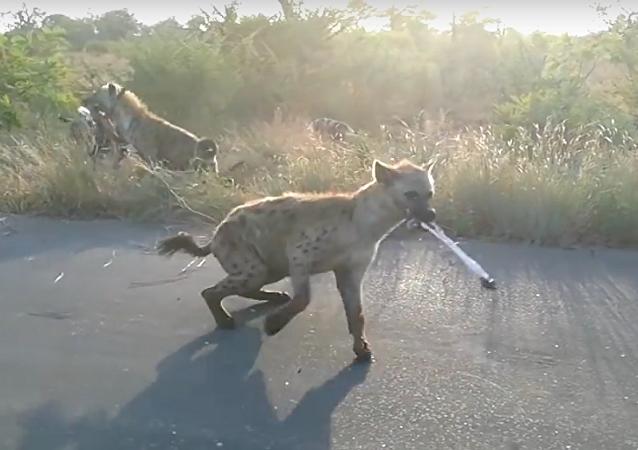Safari extraordinário: visitante filma de perto batalha feroz entre hienas e cães