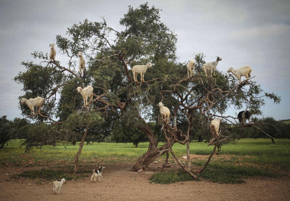 Cabras empoleiradas em uma árvore de argan, em Marrocos
