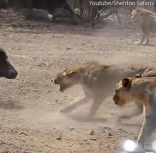 Resistência dos mais poderosos: o que leoas farão para salvar rei da selva?