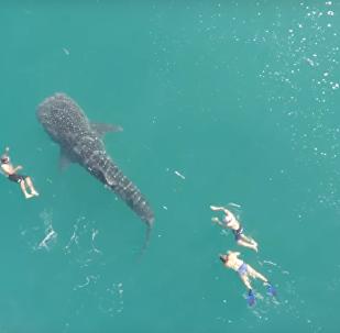 Natação inesquecível com o maior tubarão da Terra