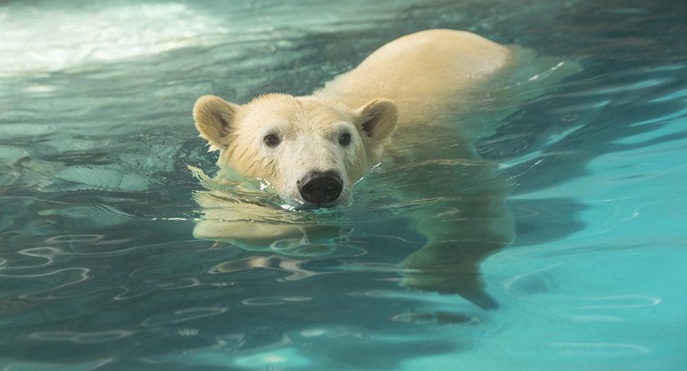 Ativistas pedem que ursos polares do Aquário de São Paulo sejam levados de volta para a Rússia