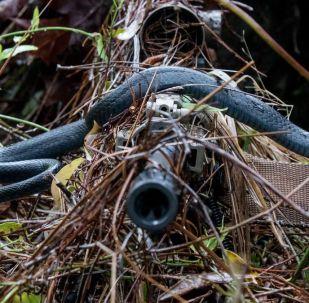 Serpente corredora-azul desliza sobre a espingarda de William Snyder da Guarda Nacional dos EUA durante treinamento militar