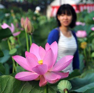 Visitantes admiram flores de lótus no Kodaihasu-no-sato, um santuário  das flores de lótus, em Goyda, província de Saitama