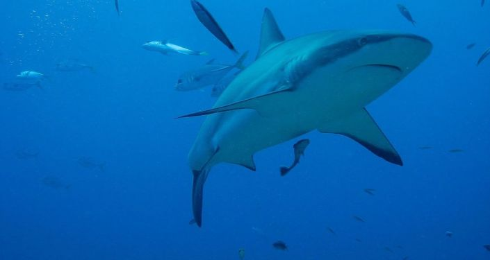 Tubarão (imagem referencial)