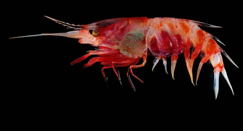 Camarão Oplophorus gracilirostris que regurgita uma nuvem bioluminescente para confundir os predadores, encontrado a 600 metros de profundidade