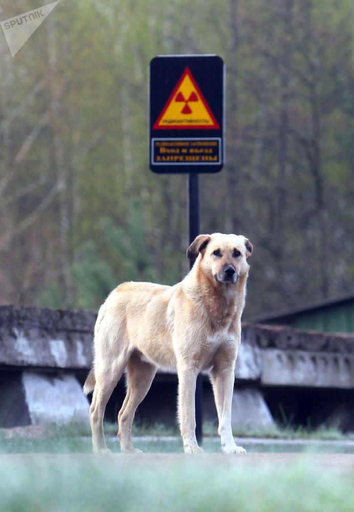 Cachorro na cidade fantasma de Chernobyl