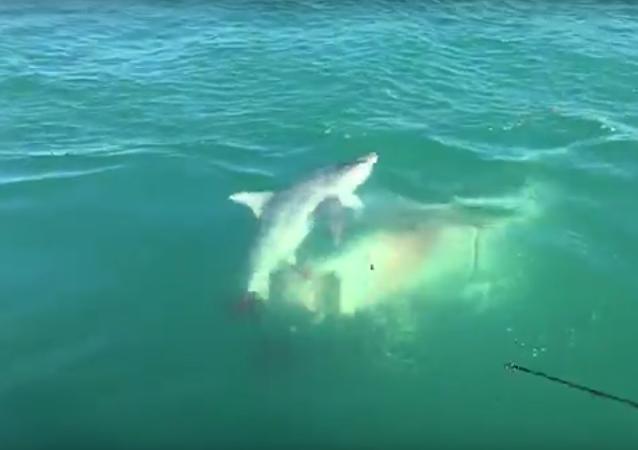 Tubarão devora tubarão