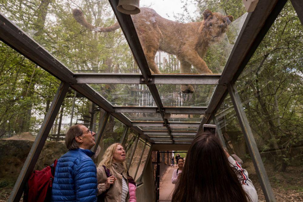 Visitantes em um túnel transparente olham para um leão no território de um jardim safari, em Paris
