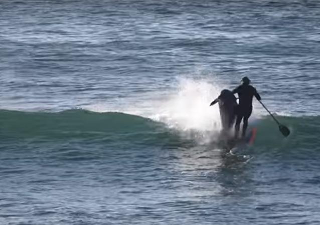 Golfinhos pegam onda e derrubam surfista na Austrália
