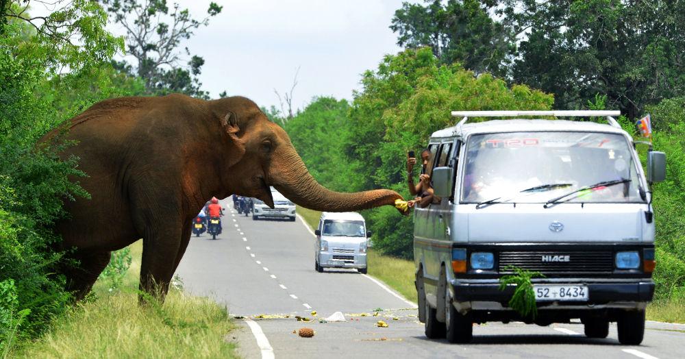 Passageiros dão banana a um elefante em uma rodovia em Sri Lanka