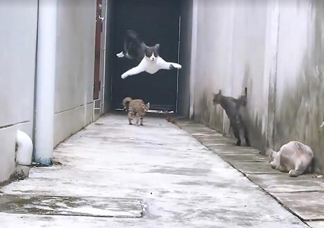 Gato 'ninja' dá lição a seus inimigos