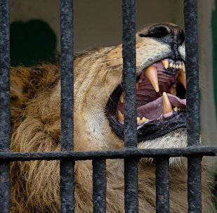 Cage with a lion