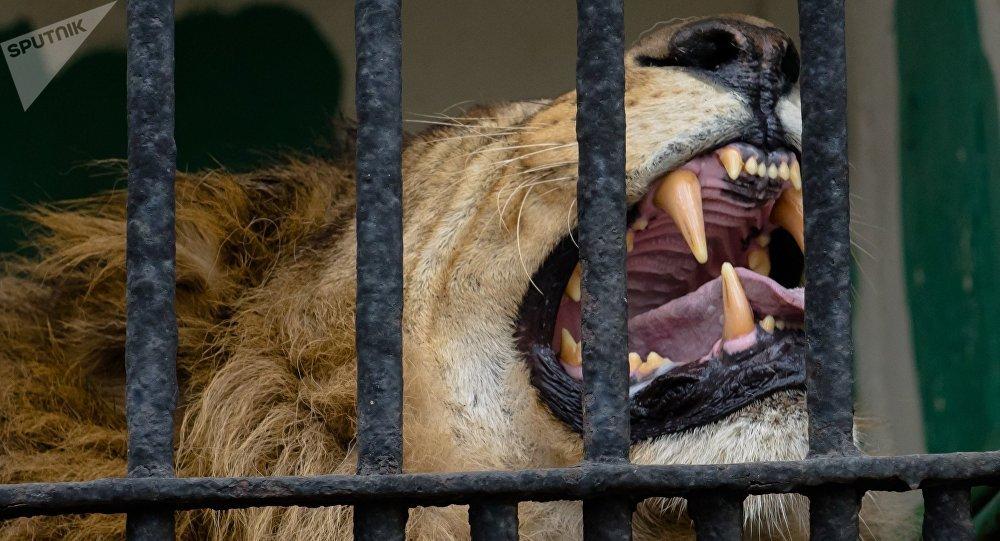 Jaula com leão