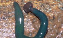 Verme cabeça de martelo encontrado na França, originário da ilha francesa de Mayotte, no oceano Índico