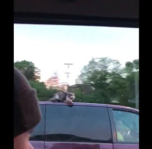 Gato surfa sobre carro a quase 100 km/h