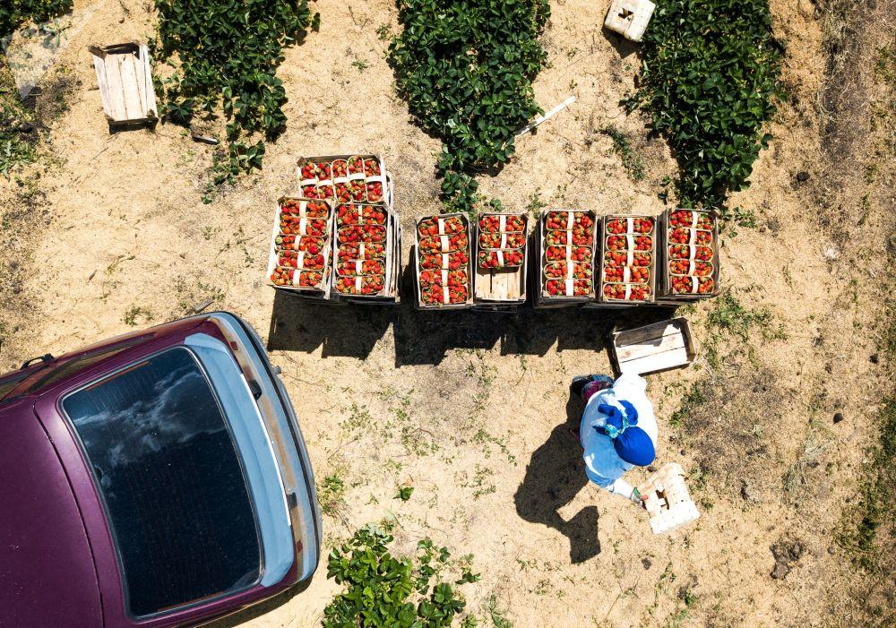 Colheita de morangos na região russa de Krasnoyarsk