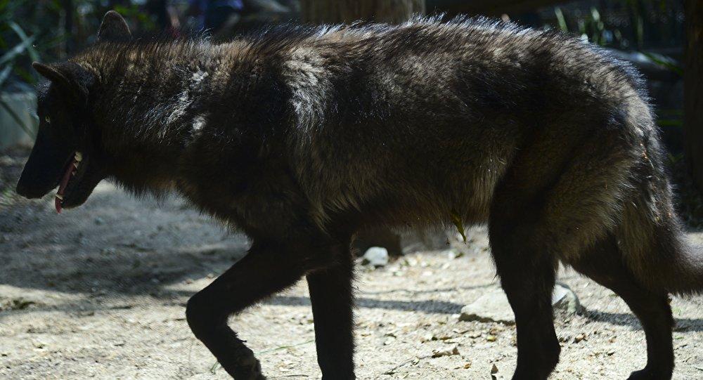 Lobo cinzento, chamado de Amarok, fotografado no zoológico de Medelim, na Colômbia, 3 de fevereiro de 2016 (imagem referencial)