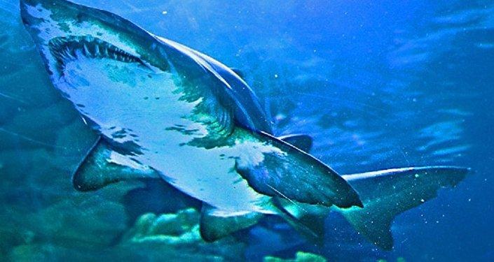 Tubarão-tigre (imagem referencial)