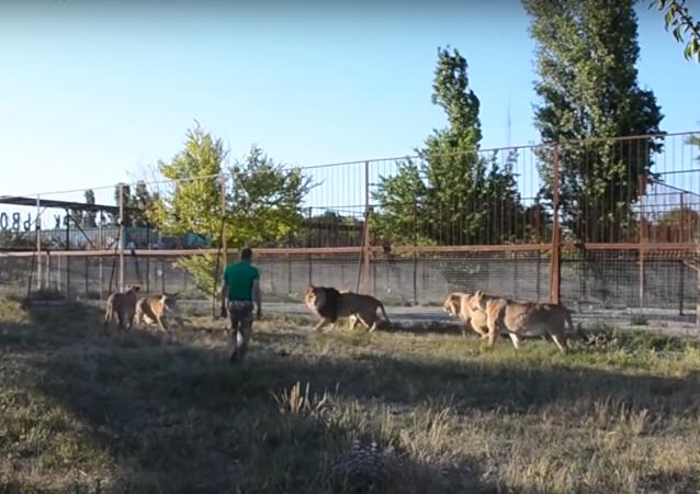'Não me importa que seja leão': dono de safári treina predadores com chineladas