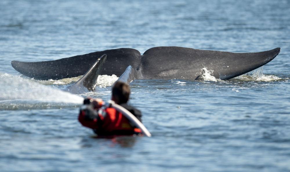 Cauda da baleia-comum é vista perto de um membro da equipe de resgate, nas águas de Jutlândia, em Dinamarca