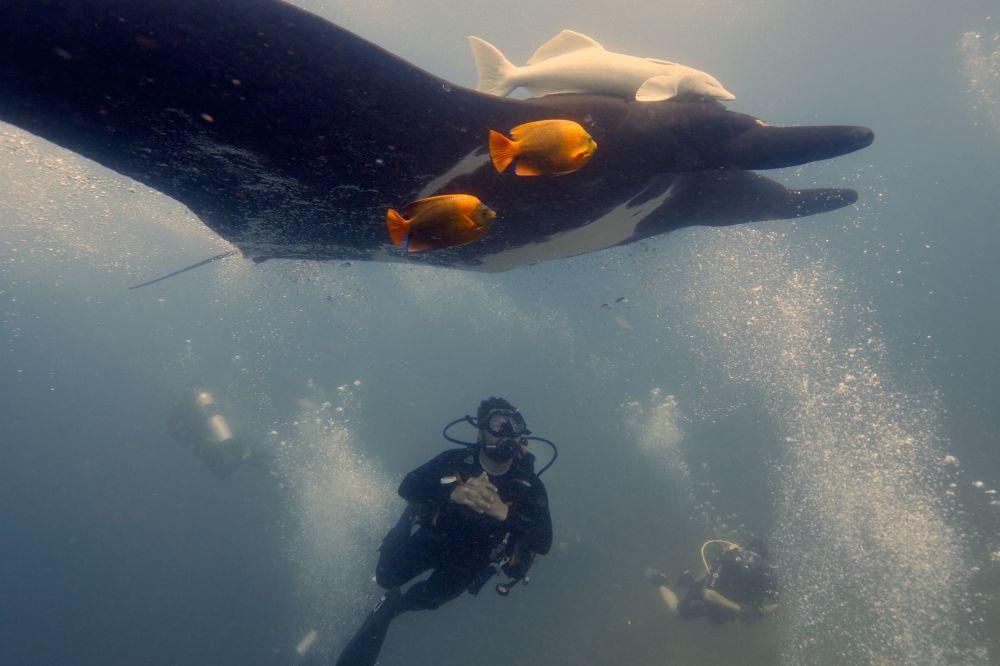 Manta gigante, espécie de peixe, junto com um mergulhador nas profundezas do mar