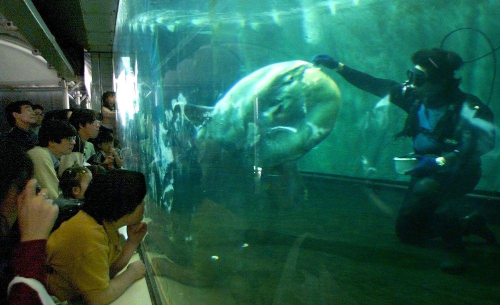 Peixe-lua comum recebe comida em oceanário japonês