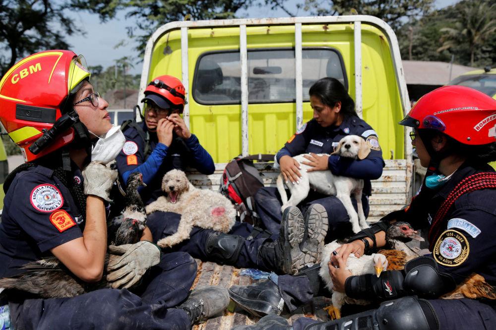 Bombeiros com animais resgatados da área afetada pela erupção do vulcão Fuego, na Guatemala.