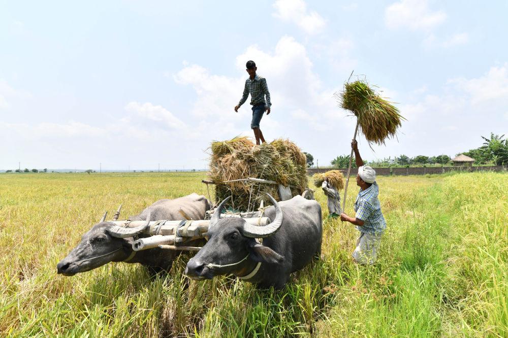 Fazendeiros indianos carregam arroz colhido na povoação de Burha Mayong, estado de Assam.