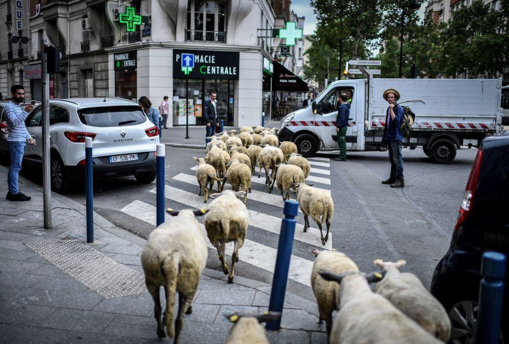 Um granjeiro atravessa a rua com um rebanho de ovelhas nos arredores de Paris