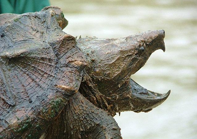 Tartaruga-aligator (foto de arquivo)