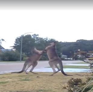 Cangurus praticam artes marciais na Austrália