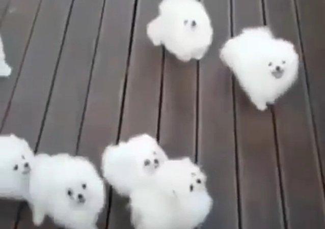 Cachorros que parecem nuvens