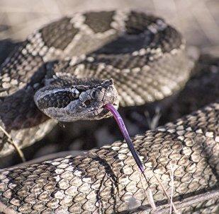 Cobra cascavel (imagem referencial)