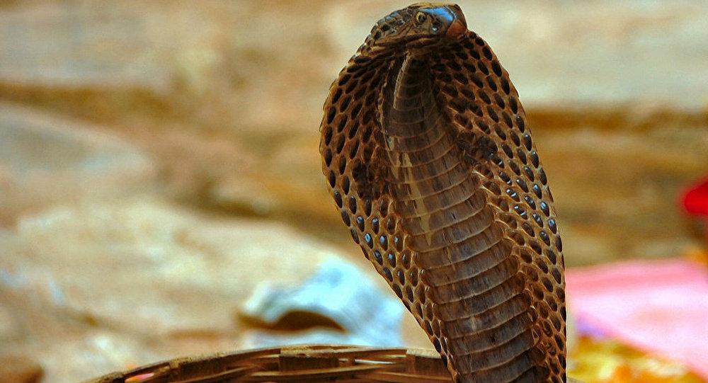 Uma cobra