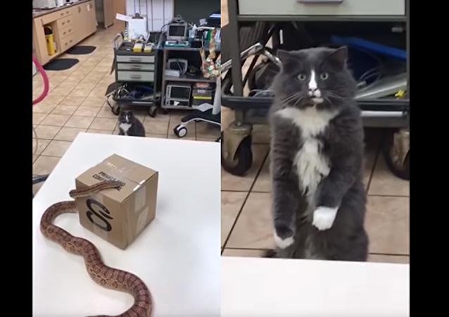 Gato petrificado diante de serpente
