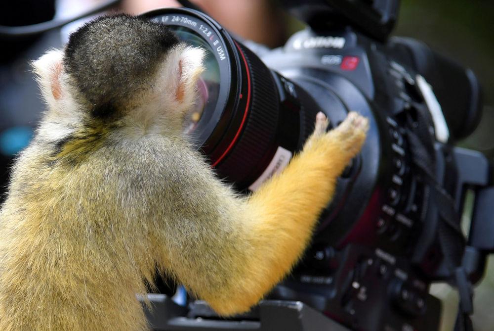 Primata sul-americano – saimiri boliviensis – olha para a objetiva da câmera instalada no jardim zoológico de Londres, Reino Unido