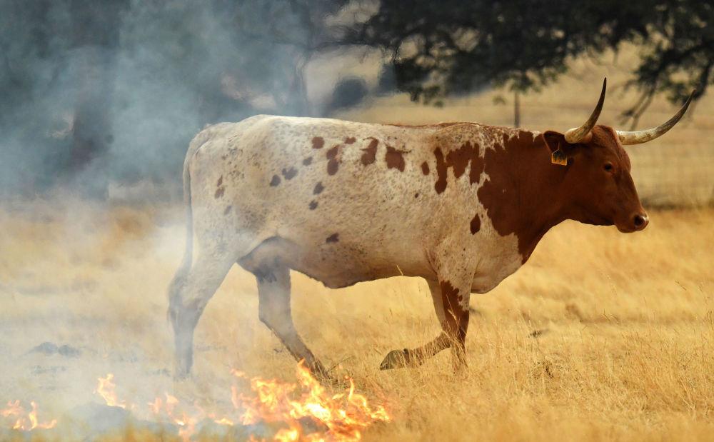 Vaca caminhando em uma pastagem ardendo, Califórnia
