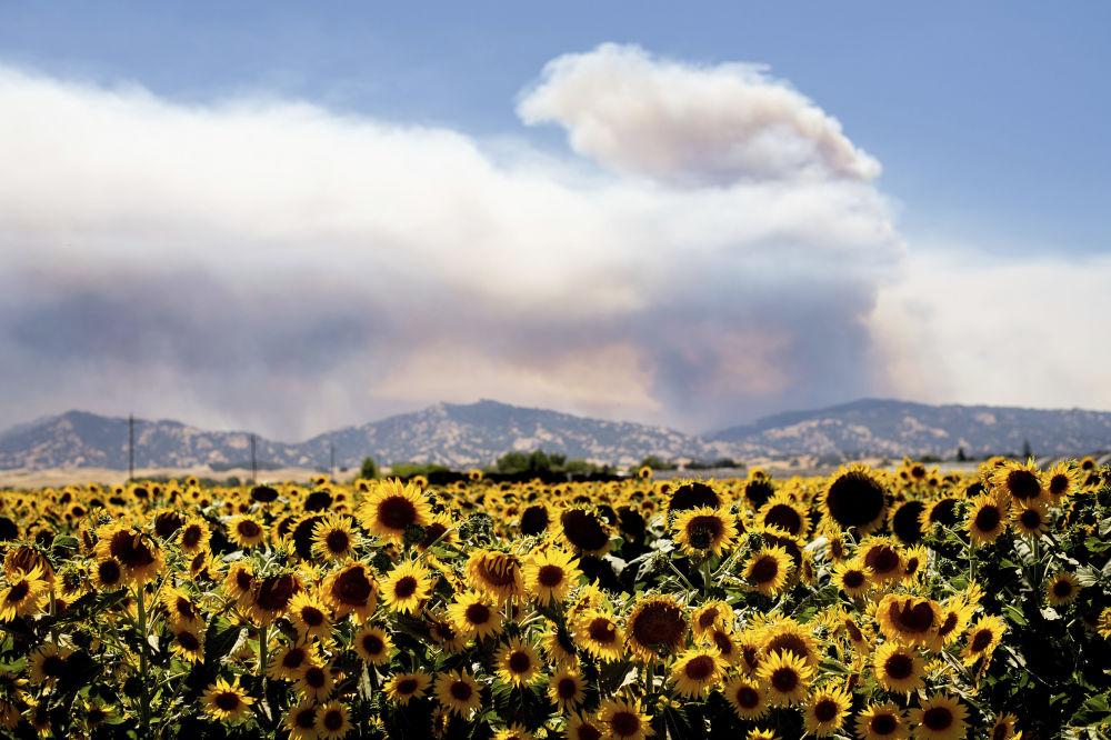 Fumaça de incêndios florestais subindo atrás de um campo de girassóis, Califórnia