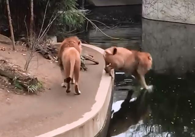 Rei sem coroa: leão perde equilíbrio e cai desajeitadamente na água