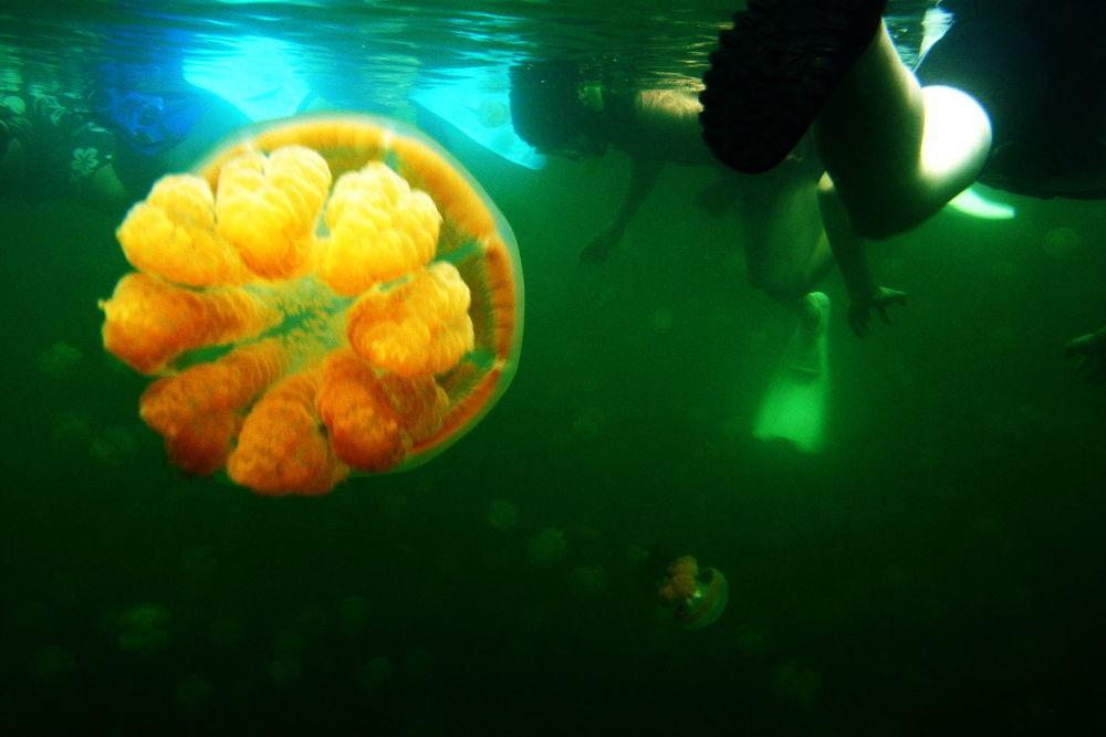 As medusas se encontram principalmente na parte superior do lago, onde a água é rica em oxigênio