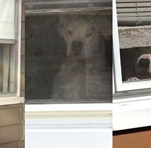 Cadela onipresente observando seu humano de todos os lugares da casa